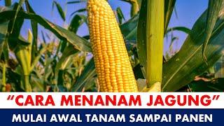 Download lagu Cara Menanam Jagung Dari Benih Hingga Panen