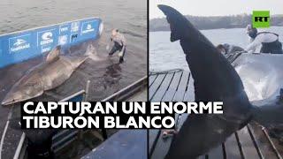 Capturan un enorme tiburón blanco de más de tonelada y media