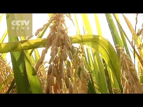 "China's ""super rice"" to yield record 15 tons per hectare"