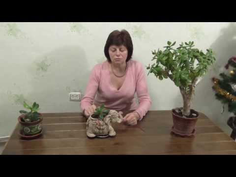 Денежное дерево. Как растет отросток толстянки древовидной.Денежный узел.Часть 2.