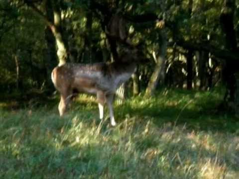 Deer Sounds and Their Communication