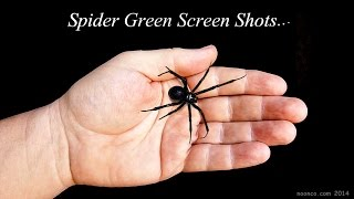 Black Widow Spider Green Screen Footage For Your Productions