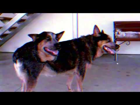 Two headed dogs Demikhov Shocking experiment Footage [ORIGINAL] thumbnail