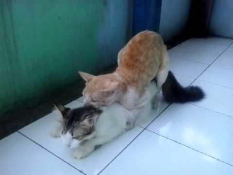 Manies kawin sama kucing kampung