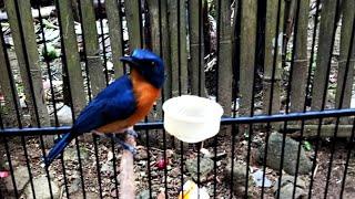 Suara Tledekan Bakau Pikat Pancingan Ampuh Sulingan Bakau Bahan Agar Cepat Nyuling Gacor Ngerol