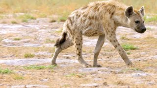 Why Hyenas Are One of Africas Most Efficient Predators
