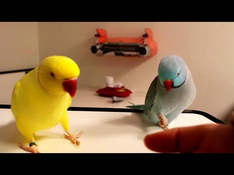 Pratende halsbandparkiet  - Talking Ringneck Parrots (indian) mutation