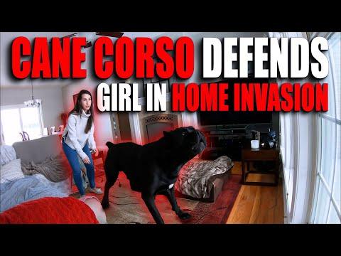 Cane Corso Defends Against HOME INVASION
