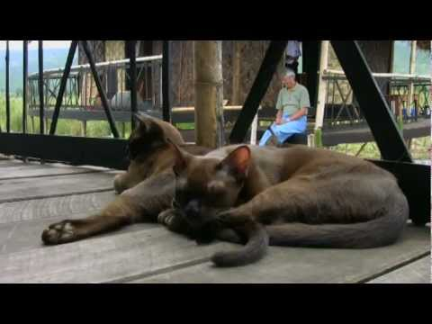 Burmese Cats - The Long Journey Home