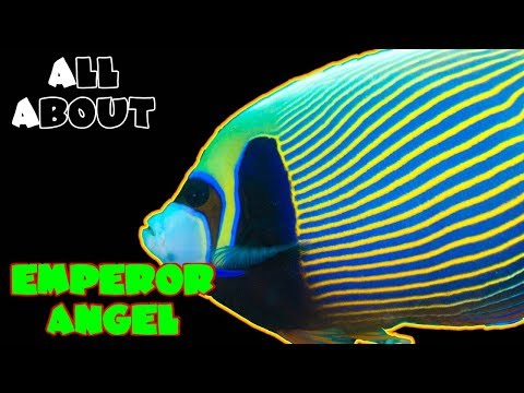 All About The Emperor Angelfish