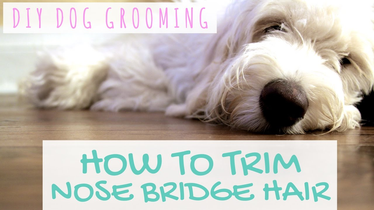 DIY Dog Grooming - Goldendoodle Grooming Around Eyes