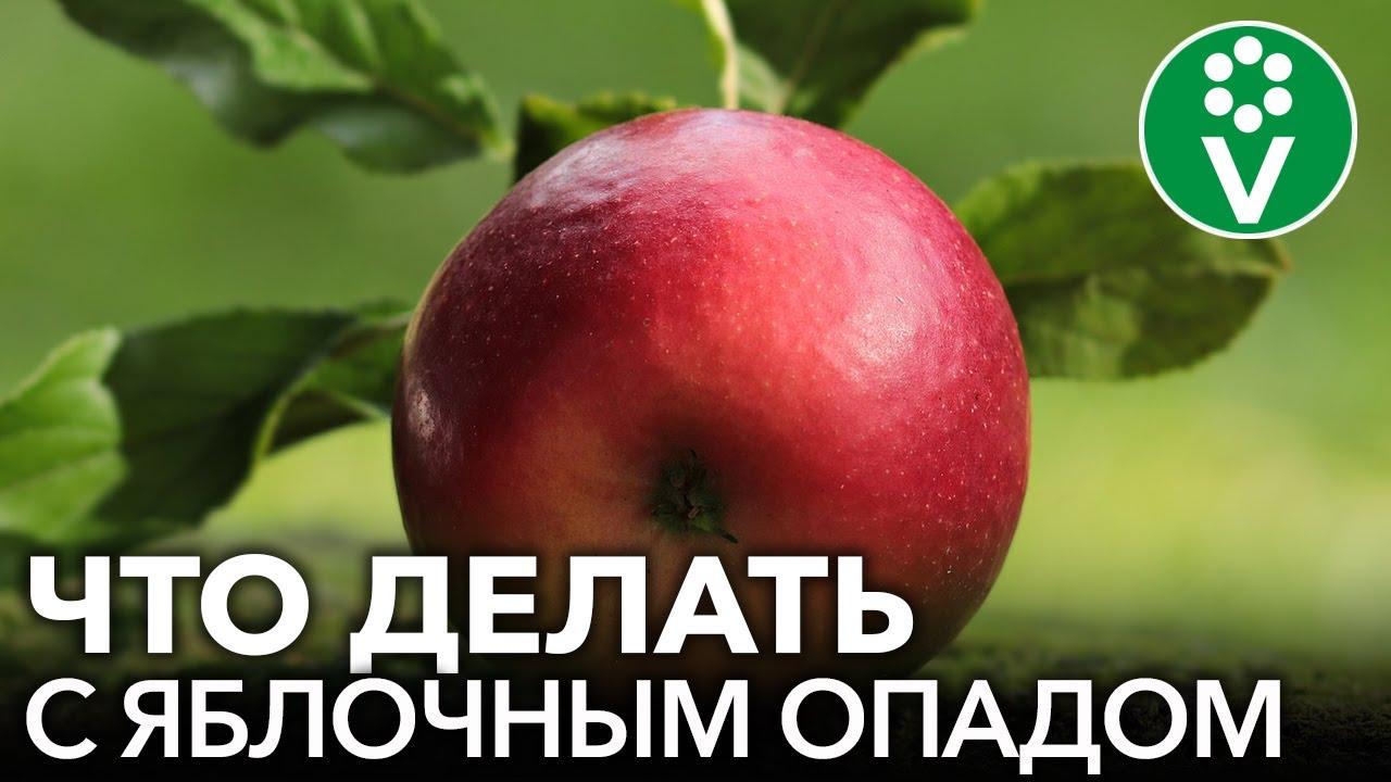 НЕ ВЫБРАСЫВАЙТЕ БОЛЬНЫЕ ЯБЛОКИ! Используем яблочный опад с пользой
