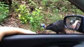 Cassowary crossing the road - Daintree Rainforest