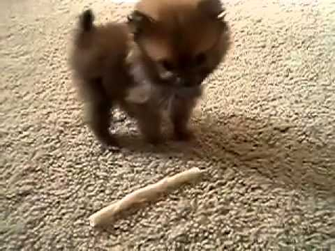Il Cane Piu Piccolo Del Mondo Youtube