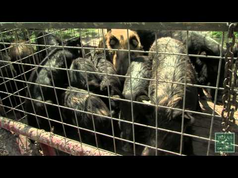 Hogs Wild - Fighting the Feral Pig Problem - Texas Parks and Wildlife [Official]