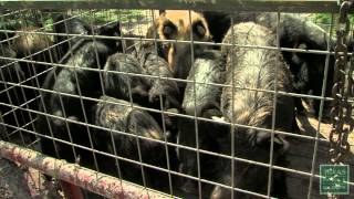 Repeat youtube video Hogs Wild - Fighting the Feral Pig Problem - Texas Parks and Wildlife [Official]