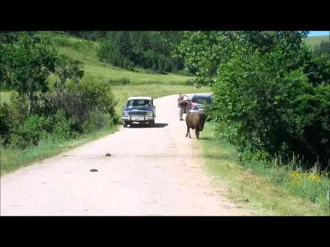 Buffalo Crossing at Custer State Park in the Black Hills of South Dakota