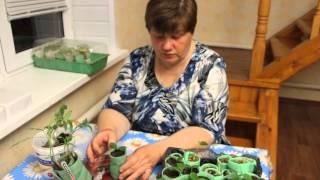видео Что делать если рассада помидор тянится