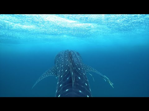 Whale shark inspired clothing that funds science!