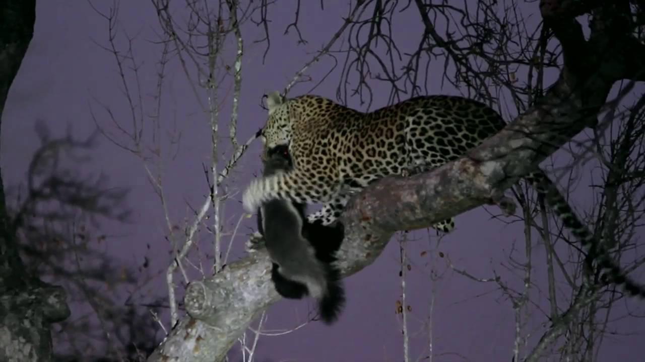 Leopard VS Honey Badger at Jock Safari Lodge, Kruger ...