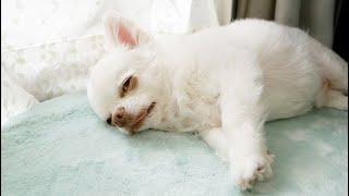 お散歩に行きたくない犬の可愛いたぬき寝入りw