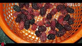 Mulberry | Dâu tằm - Đà Lạt | Cách làm siro và mứt dâu tằm ngon đậm đà