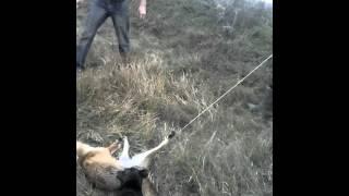 охота на лису с норными
