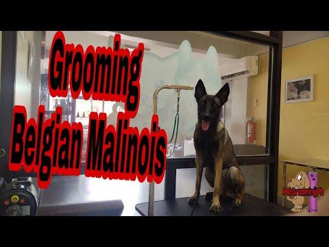 Grooming Belgian Malinois   Pet Grooming Ph