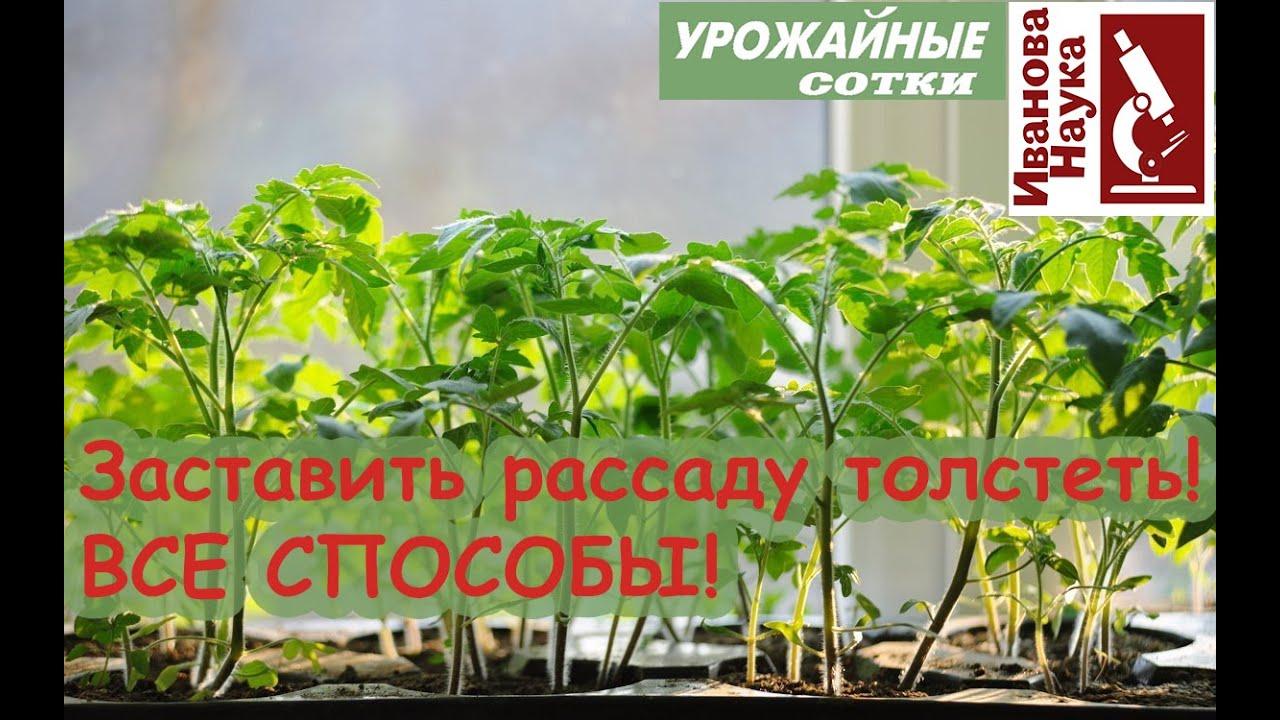 Hasznos tulajdonságok Ivan tea prosztatitisből)