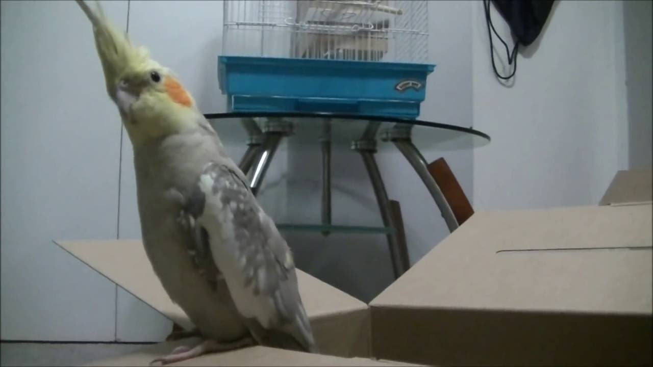 how to raise a cockatiel