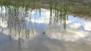 Biotope of  ephemeral lake | Биотоп пересыхающего озерца