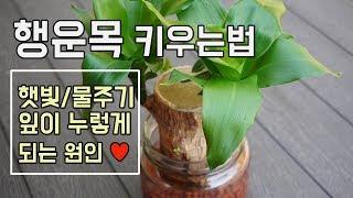 행운목 키우는법 ♥햇빛과 물주기, 수경재배, 잎이 누렇…