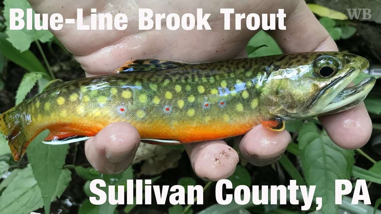 WB - Fly Fishing Blue-Line Brook Trout, Sullivan County, PA - May '18
