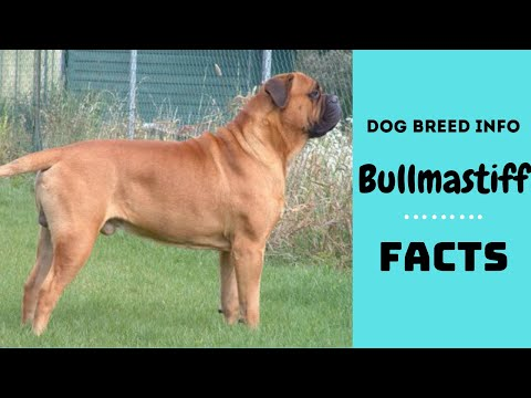 Bullmastiff dog breed. All breed characteristics and facts about Bullmastiff dogs