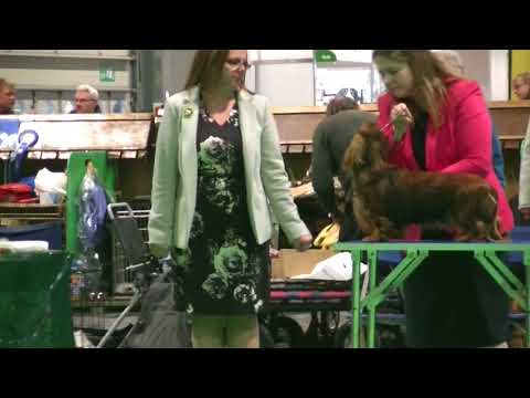 Standard Long Haired Dachshund junior bith in Crufts 2018