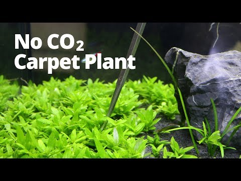 Easy low-tech aquarium carpet plant