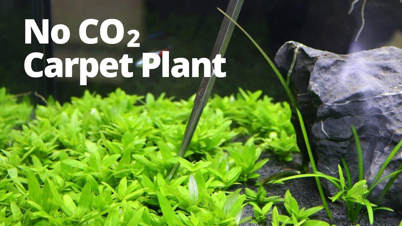 Easy low-tech aquarium carpet plant - YouTube