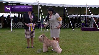Soft Coated Wheaten Terriers | Breed Judging 2021