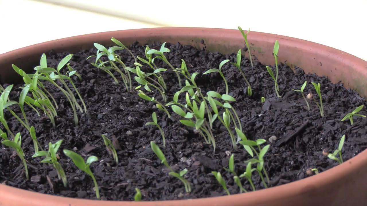 how to grow parsley from seed youtube