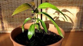 Mango pflanzen aus Kern
