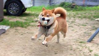 柴犬、ある日突然「ボール遊び」の楽しさに気がつく。