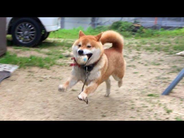 日頃やらないボール遊びにある日突然目覚める柴犬 One day shibe suddenly wants to play with the ball.Shibe is moody.