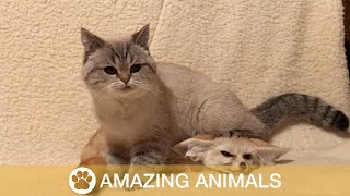 Fennec Fox and Cat Best Friends
