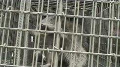 Monroe County NY Chimney Raccoon removal