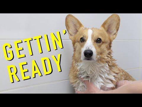 GETTIN' READY! - Topi the Corgi