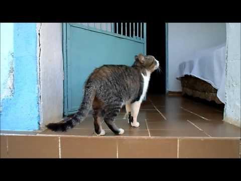 Typical Brazilian Shorthair Cat