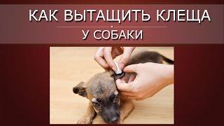 🚷 Как удалить клеща у собаки 🚷