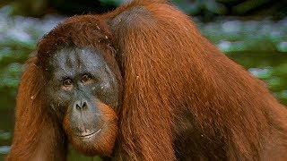 Hungry Orangutan Tries to eat Rocks | BBC Earth