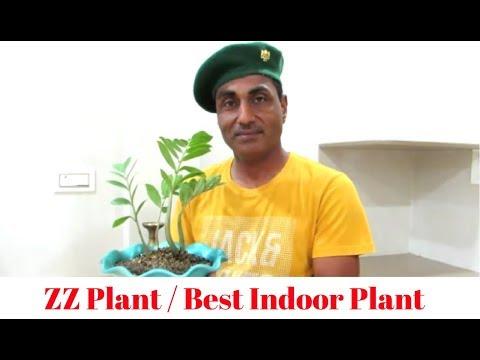ZZ Plant/Best Indoor/Care Tips