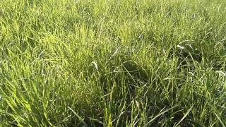 Мой газон по весне. Российские травы